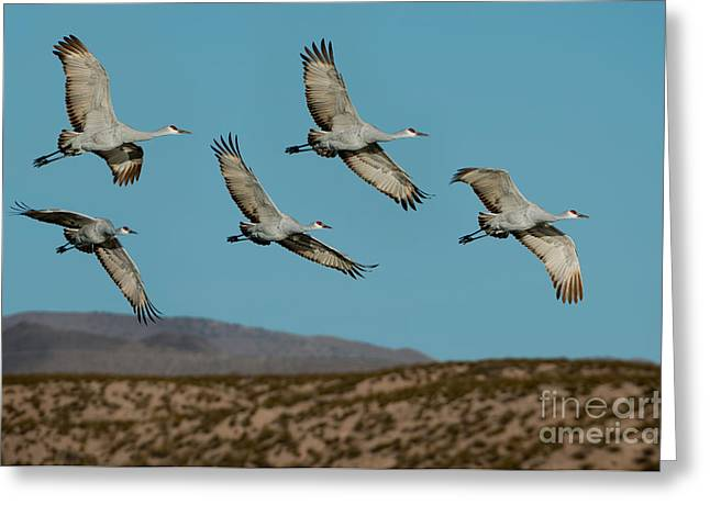 Sandhill Cranes Greeting Cards - Sandhill Cranes Over Chupadera Mountains Greeting Card by Anthony Mercieca
