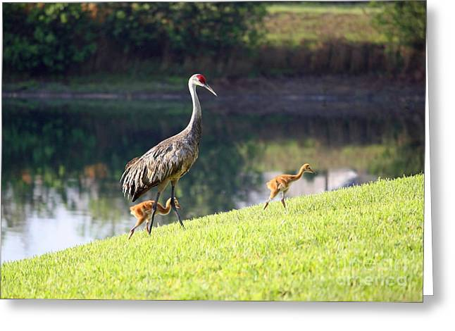 Sandhill Crane Chicks Greeting Cards - Sandhill Family Outing Greeting Card by Carol Groenen