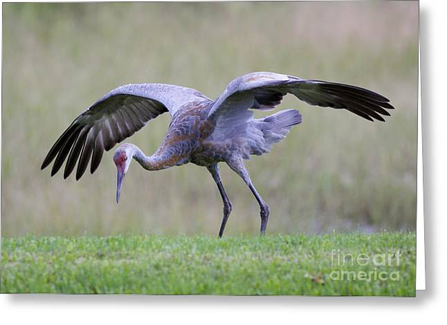 Cranes In Florida Greeting Cards - Sandhill Hide and Seek Greeting Card by Carol Groenen