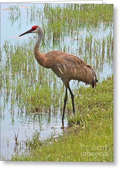 Sandhill Crane Greeting Cards - Sandhill in the Marsh Greeting Card by Carol Groenen