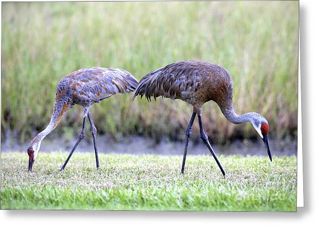 Sandhill Cranes Greeting Cards - Sandhill Mom with Juvenile Greeting Card by Carol Groenen