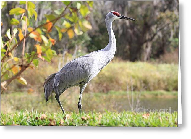 Sandhill Cranes Greeting Cards - Sandhill Passing By Greeting Card by Carol Groenen