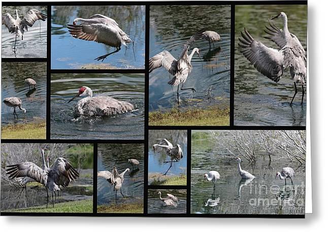 Bird Collage Greeting Cards - Sandhills Playing in the Pond Collage Greeting Card by Carol Groenen