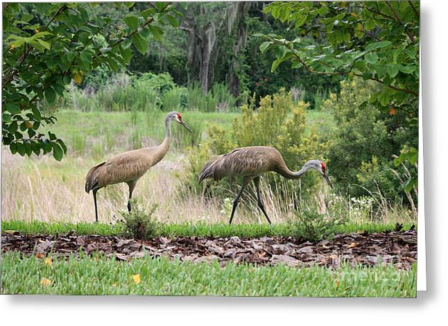 Sandhill Crane Greeting Cards - Sandhills through the Crepe Myrtles Greeting Card by Carol Groenen
