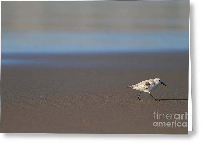 Sandpiper Greeting Cards - Sandpiper at McClure Beach Point Reyes California - 5D21353 Greeting Card by Wingsdomain Art and Photography