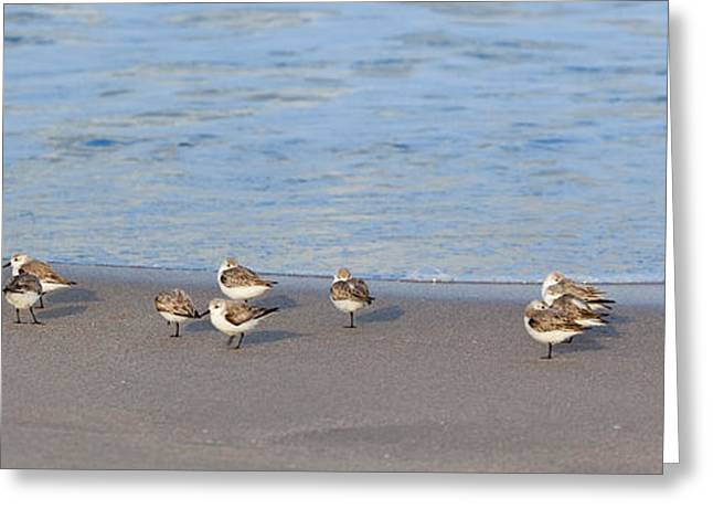 Sandpiper Greeting Cards - Sandpiper Siesta Greeting Card by Michelle Wiarda