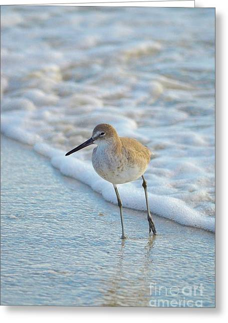 Recently Sold -  - Seabirds Greeting Cards - Sandpiper Taking a Stance Greeting Card by Carol McGunagle