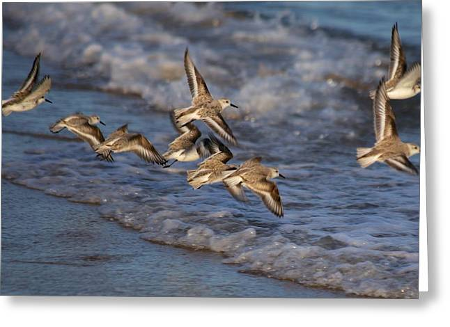 Sandpipers In Flight Greeting Card by Allan Morrison