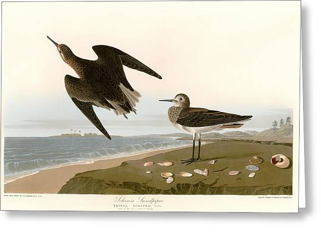 Seashell Drawings Greeting Cards - Sandpipers on the East Coast of Florida Greeting Card by Mountain Dreams