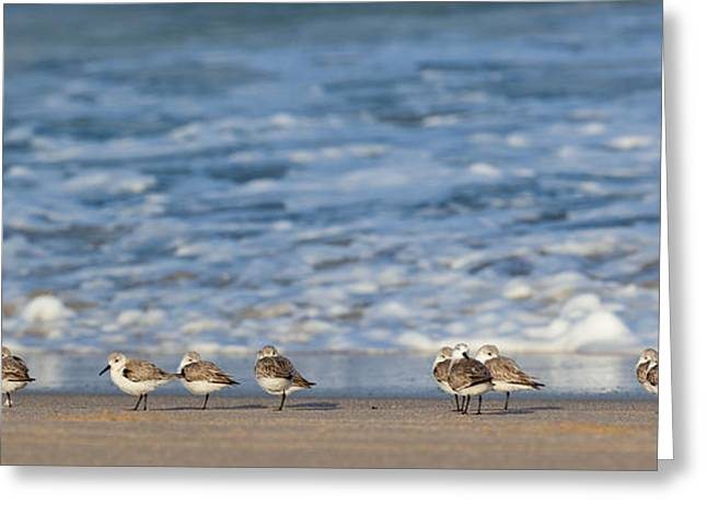 Sunny Afternoon Greeting Cards - Sandpipers Sleeping by the Sea Greeting Card by Michelle Wiarda