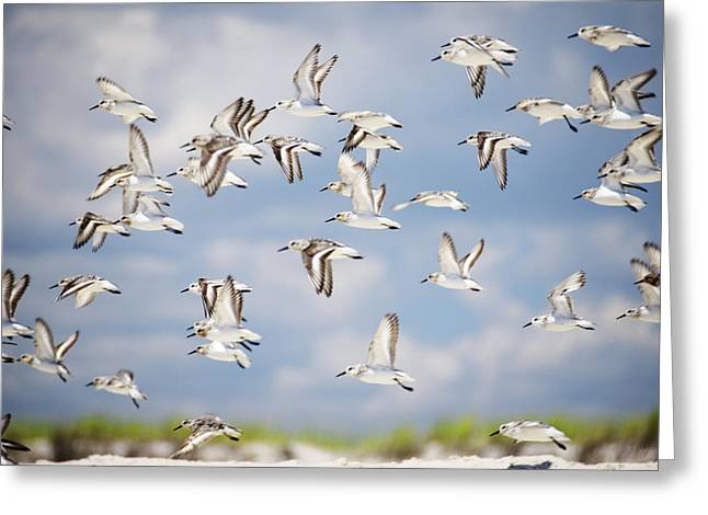 Babylon Greeting Cards - Sandpipers Greeting Card by Vicki Jauron