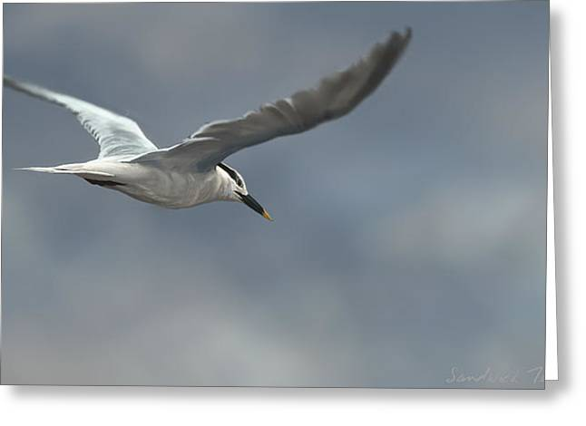 Sandwich Tern Greeting Card by Aaron Blaise