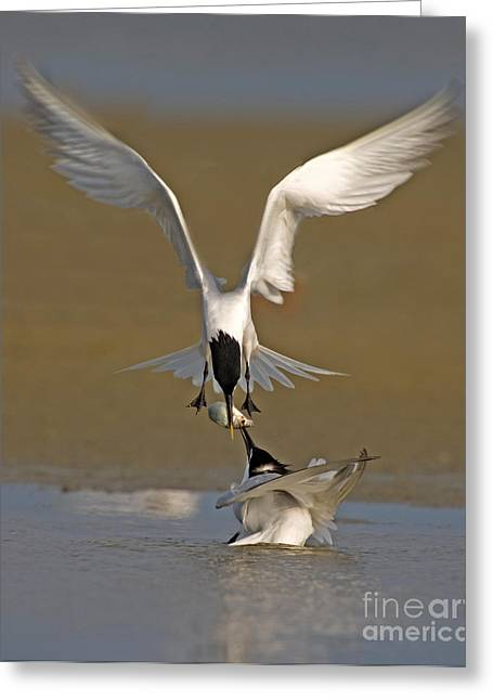Tern Greeting Cards - Sandwich Tern Bringing Fish To Its Mate Greeting Card by Anthony Mercieca