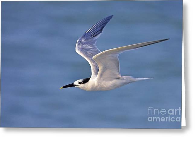 Tern Greeting Cards - Sandwich Tern In Flight Greeting Card by Bildagentur-online