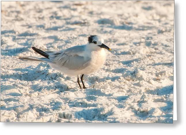 Tern Greeting Cards - Sandwich Tern Greeting Card by Rich Leighton