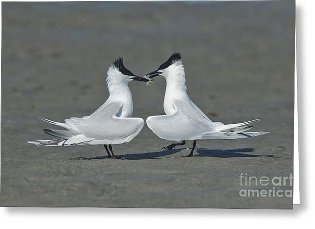 Tern Greeting Cards - Sandwich Terns Greeting Card by Anthony Mercieca