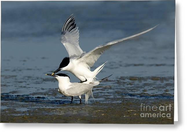 Sandwich Terns Mating Greeting Card by Anthony Mercieca