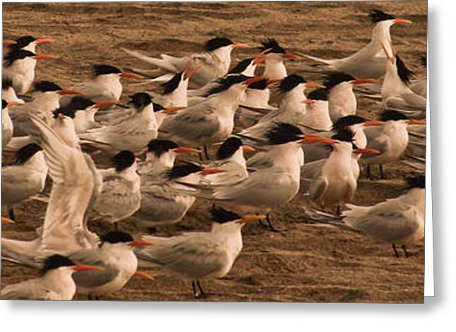 Tern Greeting Cards - Sandy Court of Royal Terns Greeting Card by Lorenzo Williams