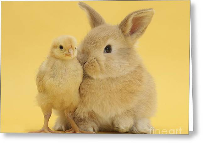 House Pet Greeting Cards - Sandy Rabbit And Bantam Chick Greeting Card by Mark Taylor
