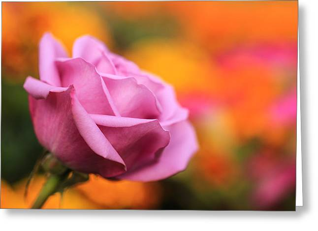Pinks And Purple Petals Greeting Cards - Sangria Greeting Card by Rachel Cohen