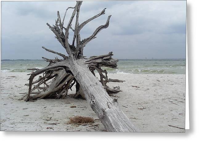 Dried Seaweed Greeting Cards - Sanibel Island Driftwood Greeting Card by Patrice Clark