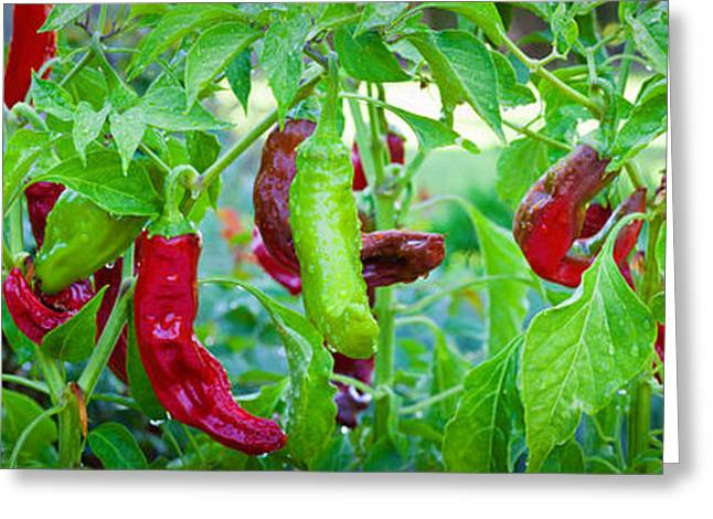 Hot Peppers Greeting Cards - Santa Fe Grande Hot Peppers On Bush Greeting Card by Panoramic Images
