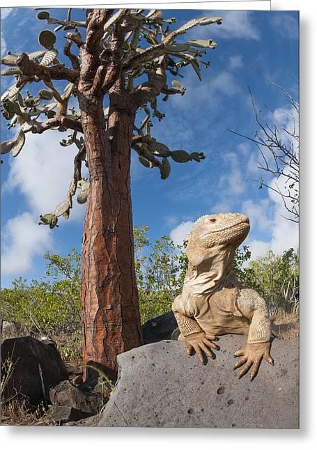 Barrington Greeting Cards - Santa Fe Land Iguana And Opuntia Greeting Card by Tui De Roy