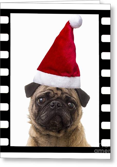 Puppies Photographs Greeting Cards - Santa Pug - Canine Christmas Greeting Card by Edward Fielding