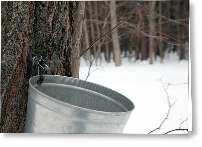 Sap Collection From Maple Tree Greeting Card by Jim West
