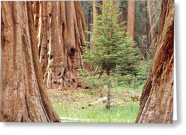Sequoia National Park Greeting Cards - Sapling Among Full Grown Sequoias Greeting Card by Panoramic Images