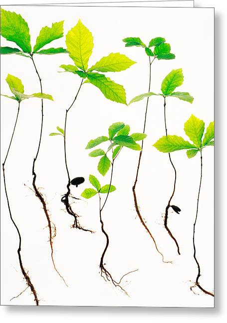 Generate Life Greeting Cards - Saplings With Root On White Background Greeting Card by Panoramic Images