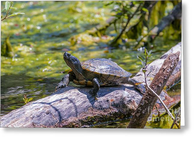 Slider Greeting Cards - Sardis Pond Turtle Greeting Card by Sharon  Talson