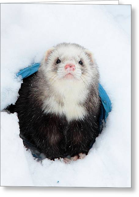 White Ferret Greeting Cards - Sarge On Snow Patrol Greeting Card by Nigel Espley