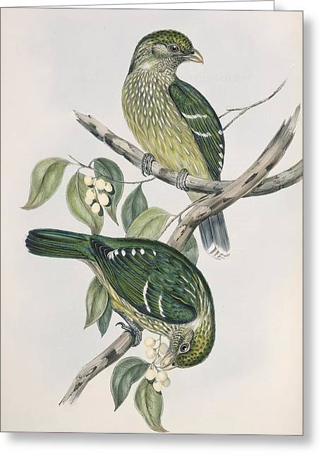 John Gould Greeting Cards - Satin bowerbirds, 19th century artwork Greeting Card by Science Photo Library