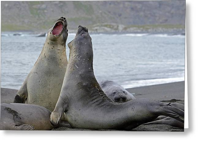 Elephant Seals Greeting Cards - Saturday Night Greeting Card by Tony Beck