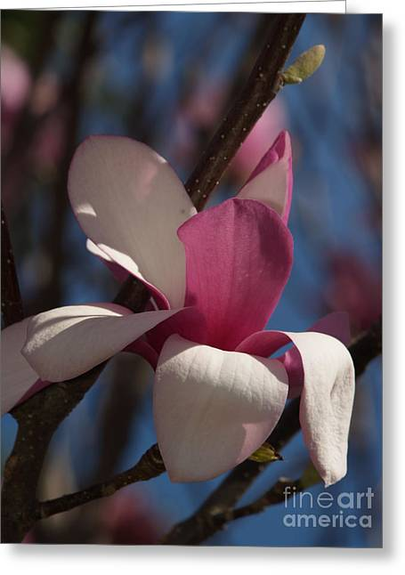 Pink Flower Branch Greeting Cards - Saucer Magnolia Branch Greeting Card by Anna Lisa Yoder