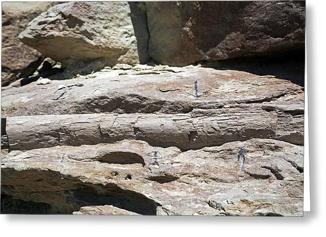 Sauropod Dinosaur Rib Fossil Greeting Card by Jim West