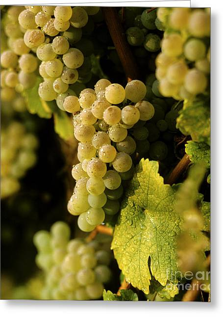 Agronomy Greeting Cards - Sauvignon Blanc Cluster Greeting Card by Craig Lovell