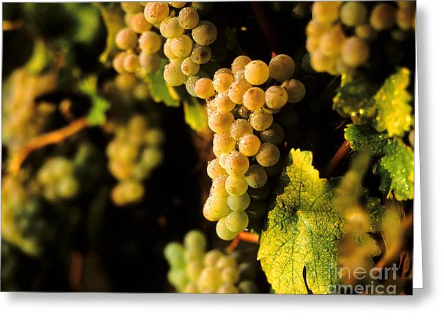 Harvest Time Greeting Cards - Sauvignon Blank Clusters Greeting Card by Craig Lovell