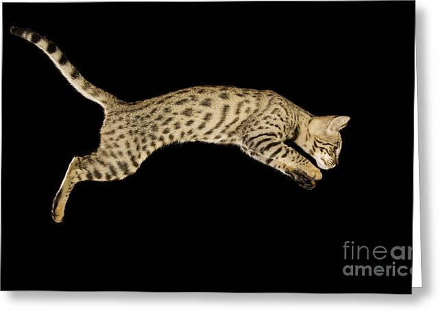Bred Photographs Greeting Cards - Savannah Cat Greeting Card by Terry Whittaker