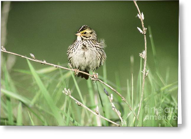 Savannah Sparrow Greeting Card by Art Wolfe
