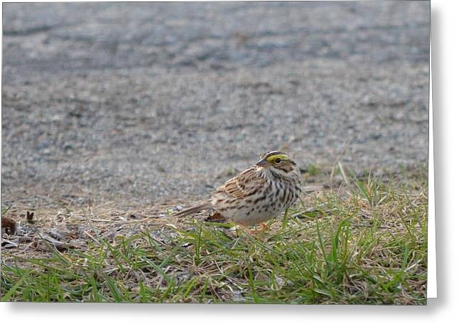 Maine Spring Greeting Cards - Savannah Sparrow Greeting Card by James Petersen