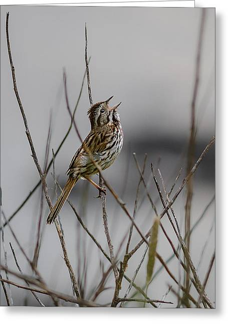 Quoddy Greeting Cards - Savannah Sparrow Greeting Card by Marty Saccone