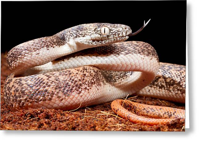 Savu Python In Defensive Posture Greeting Card by David Kenny
