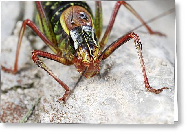 Saw Greeting Cards - Saw-tailed bush cricket Greeting Card by Science Photo Library