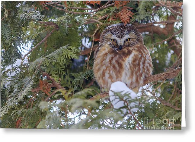 Little Pyrography Greeting Cards - Saw-whet in a Cedar Greeting Card by Rebecca Brooks