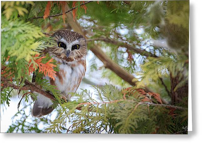 Regal Greeting Cards - Saw-Whet Owl Greeting Card by Everet Regal