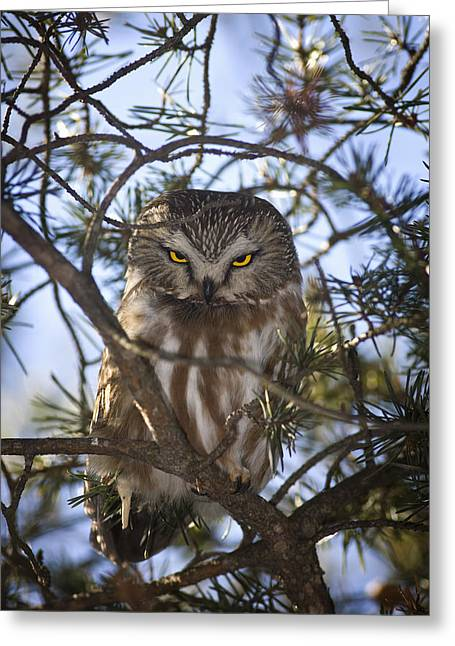 Saw Greeting Cards - Saw Whet Owl Greeting Card by John Bennett