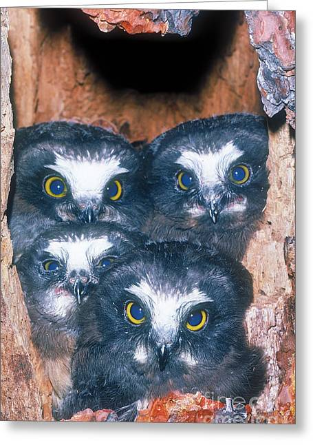 Saw Greeting Cards - Saw Whet Owlets In Tree Cavity Greeting Card by Art Wolfe