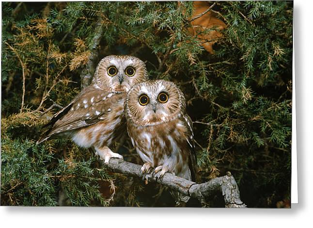 Chordata Greeting Cards - Saw-whet Owls Greeting Card by G Ronald Austing